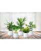 5 Plantes d'int. Purification d'Air - 5x25/40cm
